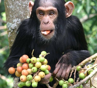 chimp_fruit