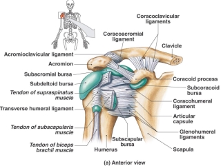 shoulder_girdle_anterior
