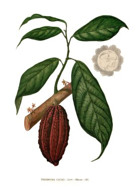 theobroma_cacao_drawing